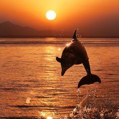 Дельфины Рассветы и закаты Море Прыжок Солнце Животные