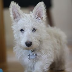 Modern Scottie Dog | a blog for Scottie Dog Lovers