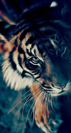 Adorable animals anime wallpaper for android, tiger wallpaper iphone, iphone wallpaper high quality, Tiger Wallpaper Iphone, Cat Wallpaper, Animal Wallpaper, Iphone Wallpapers, Desktop Backgrounds, Hd Desktop, Hd Wallpaper Android, Hipster Wallpaper, Amazing Wallpaper