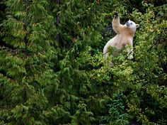 Mother Bear Climbs a Pacific Crab Apple Tree... photo by Paul Nicklen