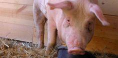 Logran cultivar células humanas en embriones de cerdos...