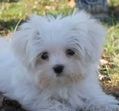 Maltese the best puppy love!