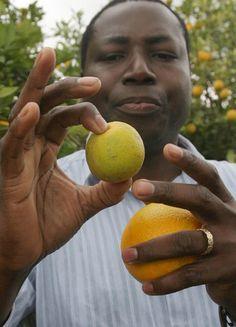 The Texas Tribune: Greening Disease in Rio Grande Valley Has Texas Citrus Growers on Alert
