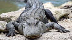 American alligators are much older than we thought
