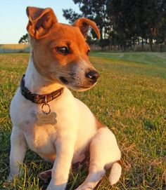 Harley the Jack Russell Terrier Mix -- Puppy Breed: Toy Fox Terrier / Jack Russell Terrier