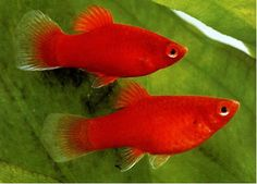 Xiphophorus maculatus | Platy (Plaatje) | 24-27° | levendbarend | vooral boven | 6 cm, mannetje kleiner | pH 7-8