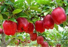 Cara Menanam Apel dari Biji