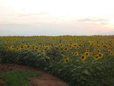 Sunflowler fields in Drama, Macedonia Greece Macedonia Greece, Alexander The Great, Planet Earth, Art And Architecture, Fields, Beautiful Flowers, Past, Greek, Drama