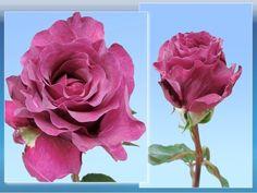 Mammy Blue Garden Rose