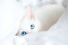 beautiful white cat with blue eyes hiding in the blanket