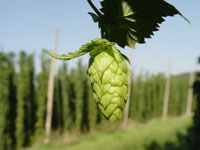 Ever wonder what a hop looks like (used in brewing)?