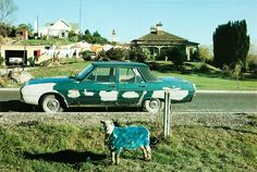 Robin Morrison - Blue sheep and car Photo Look, New Zealand, Sheep, Documentaries, Robin, Photographers, Cars, Google Search, People