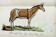 equus asinus onager - high resolution image from old book. Old Book Pages, Vintage Scrapbook, Art Clipart, Nature Crafts, Picture Collection, Scrapbook Paper Crafts, Free Illustrations, Wall Collage, Mammals