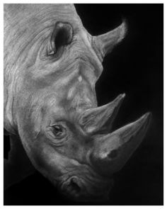 Southern White Rhino Graphite on Paper