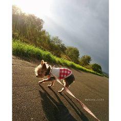 秋散歩🐾 * *突然の日差しが 差し込んで来ました☀ * * * *2016.10.12(pic*10/11)  #犬#イヌ#ワンコ#ペット#愛犬#pet#dog#dogInsta#Instadog #doglife#Ilovedog#cute #ilovemydog#doglove#dogstagram #toydog#yorkie#Ilovemydog #ig_dogphoto#doggy #instapet#instacute#doglover #cutestsofttoys #ヨーキー#ヨークシャテリア #癒しワンコlove#癒しワンコ #シニア犬 #whim_life
