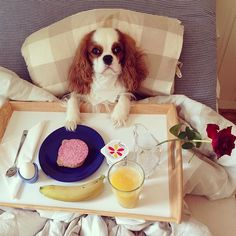 Winston the cavalier - Saturday morning means breakfast in bed ☕