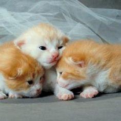 How to Use Lemon to Kill Fleas on Newborn Kittens & Cats