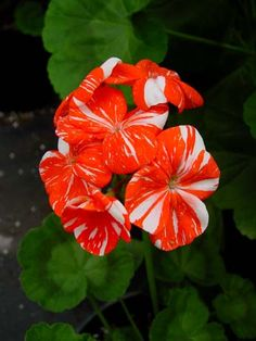 Geraniums - Everblooming Hardy Double Geranium Collection