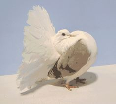 الحمام مروحية الذيل الهندية Beautiful Birds, Simply Beautiful, Animals And Pets, Cute Animals, Rare Birds, Kinds Of Birds, Pigeon, Pet Birds, Wings