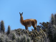 GALLERY | Whale Watching Chile Guanaco in the Atacama desert Whale Watching, Chile, Deserts, Wildlife, Gallery, Animals, Chili Powder, Animaux, Desserts