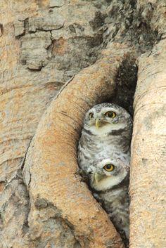 Western Screech Owl, Westerns, Birds, Animals, Animales, Animaux, Bird, Animal, Animais