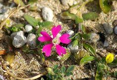 Flora hellenica: Silene sartorii