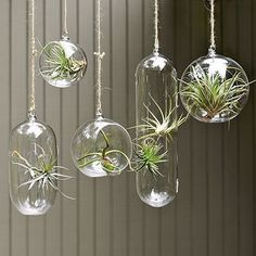 Want to do this so bad!!!   Post: Of course you can have an indoor garden. Use Air Plants which are super low maintenance.  Just mist them daily and submerge in water weekly.  The plants and terrariums are surprisingly very affordable, so buy lots and Hang them at varying heights in front of a window and enjoy your mini tropical garden.