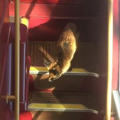 Afoxmakes his way downstairs after travellingon the top deck of a Number 12 bus as it made its way along St George's Road in south London. Thefoxwas coaxed off the vehicle by the driver without incident.
