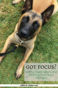 Got Focus? Setting Expectations and Winning Your Dog's Attention http://www.collared-scholar.com/got-focus-setting-expectations-and-winning-your-dogs-attention/ #TheCollaredScholar #dogtraining #dogfocus #dogmanners