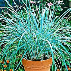 Gardening zones 4a 4b 5a 5b 6a 6b on pinterest for Hearty ornamental grasses