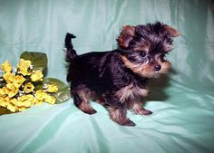 Different Colors of Yorkies | Get A Miniature Yorkie Home To Share And Get Love