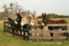 American Mammoth Jackstock Donkeys - Photograph at jeanmfogle.com