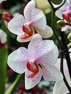 Orquidea Phalaenopsis #Orchidea #Orchidee #OrchideaPhalaenopsis