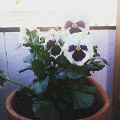 Gardening around  #pansies #pansy #instaflower #spring #instablooms #ihavethisthingwithplants