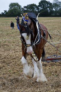 Shire Horse Using A Drag Harrow | by Martin Pettitt