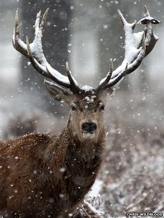 A red deer in London's Richmond Park on Monday. Photo: Chris Wildblood