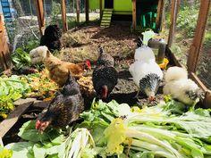 Tour, Goats, Animals, Hens, Backyard Farming, Animales, Animaux, Animal, Animais