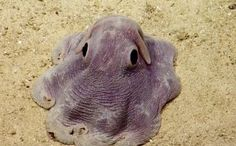 Rare Dumbo Octopus.... Deepest octopus dwellers. They hover along the ocean's bottom propelled by their Dumbo-like ears. Little is known about this species of octopus.