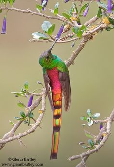 Red-tailed Comet hummingbird