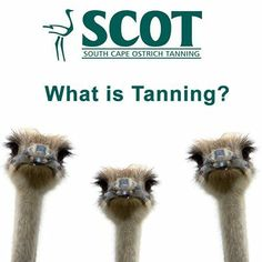 #Tanning is the process of treating skins of animals to produce #leather, which is more durable and less susceptible to decomposition. Traditionally, tanning used tannin, an acidic chemical compound from which the tanning process draws its name (tannin is in turn named for an old German word for oak or fir trees, which supplied it)