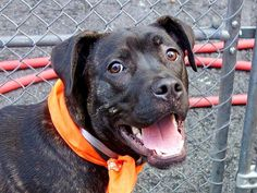 """TO BE DESTROYED TUES MAY 13 MANHATTAN NY ✿•*¨`•TYSON ✿ COULD BE FRIENDLIEST PUPPY IN NYC!! **GREAT WITH KIDS AND DOGS* We have to save him!! A volunteer writes: """"Tyson was owned barely 2 weeks and surrendered because of a housing ban…He is a gorgeous youngster, only 10 months of age who lived happily with kids of all ages and who is said to be playful and loving. Tyson is the picture of health and great care. He owns lively and naughty amber eyes. His coat looks like satin, shining dark…"""