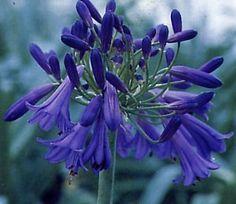 Google Image Result for http://image.gardening.eu/piante/Immdata/agapanthus_purple_cloud.jpg