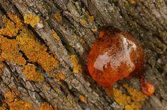 La gomosis se manifiesta con exudados y chorreaduras que presentan una consistencia gomosa y un olor desagradable en muchos casos. Esa zona se engrosa permitiendo la entrada de bacterias y hongos.