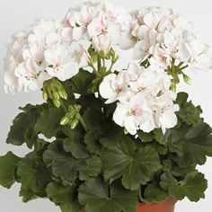 ZONAL GERANIUM Savannah White Splash