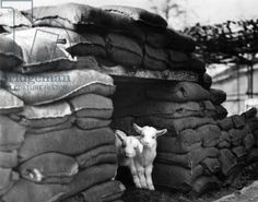 Kid goats protected by sandbags during World War Two, London Zoo, March 1941 (b/w photo)