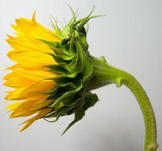 sunflower mugshot by ubikentang on DeviantArt