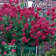 Tonto Hardy Crape Myrtle At Spring Hill Nurseries