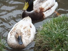 Welsh Harlequin Duck, Bird, Simple Living, Ducks, October, Animals, Animales, Animaux, Birds