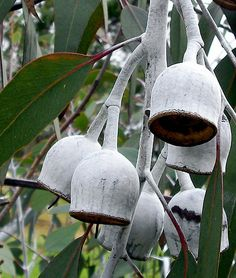 Reminiscent of the underwater diving bells, these white reflective gumnuts hang pendulously amongst the gum trees at the Australian Natives Garden, Royal Park, Parkville , Melbourne. Australian Wildflowers, Australian Native Flowers, Australian Plants, Guava Tree, Tree Interior, Australian Native Garden, Paper Plants, Nature Tree, Botanical Drawings
