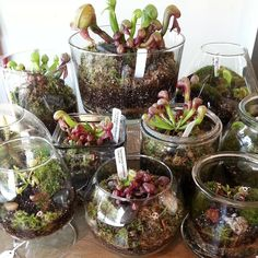 """belfryoddities: """" We received a huge assortment of carnivorous plant terrariums today! Stop on by and check them out. """" I really want a carnivorous plant terrarium, but: • Not sure where I'd put it. •..."""